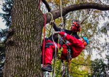 Снимка на арбористи укрепващи короната на дърво