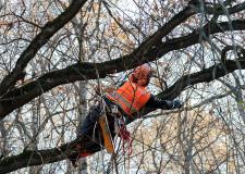 Снимка на арборист укрепващ короната на дърво